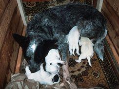 Příbuzenský vztah australského honáckého psa s dalmatinem dokládají štěňata, která se rodí bílá, pouze s malými tmavými skvrnami. Proto se také testují na hluchotu.