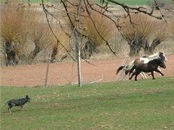 Chovatelé koní i dobytka si australského honáckého psa cení jako obrovského pomocníka.