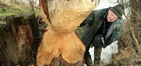 Myslivec Jaroslav Daněk ukazuje dílo bobrů u Nemotic