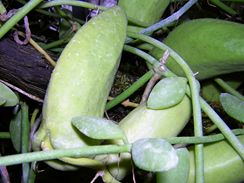 Mezi neobvyklé pokojové rostliny patří také někteří zástupci z rodu Dischidia. Jsou to liánovité rostliny a pro