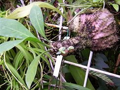 Myrmekódie pěstované epifyticky vyžadují každodenní rosení nebo pěstování v pokojovém skleníčku, kde lze udržet vyšší vzdušnou vlhkost
