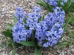 Rozkvetlé hyacinty vás na jaře potěší i na zahradě. Pokud jste je nezapomněli na podzim zasadit.