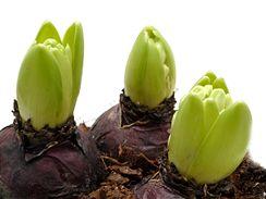 Ta nádhera, když se puky hyacintů otevřou a objeví se poupata.