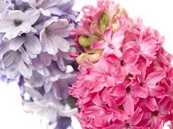 Teprve pohled na detail květu hyacintu vám odhalí jeho působivou krásu.