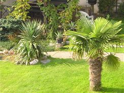 I v české zahradě se palmy docela dobře zabydlí.