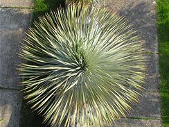 Juka vytváří nádhernou korunu listů (pohled zhora).