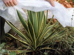 Mladé rostliny je potřeba přes zimu chránit přikrytím.