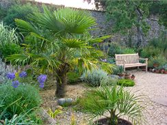 Pokud vám palmy úspěšně přečkají naši zimu, můžete se začít těšit na úžasnou atmosféru, kterou vám na zahradě vytvoří v létě.