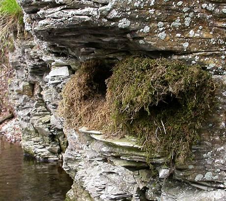 Hnízdo skorce vodního