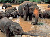 Osiřelí sloni v parku Pinnawela.