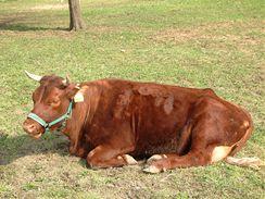 Kráva Jitka v podání české červinky, která už na Toulcově dvoře odchovala tři telátka.