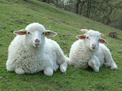 To nejsou valašské ovce na stráních Beskyd, ale v pražské Hostivaři.
