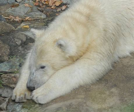 Lední medvěd Tom.