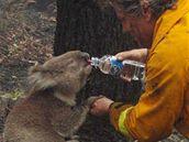 Koalí samička dovolila svému zachránci něžné doteky.