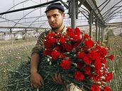 Palestinec při sběru karafiátů.