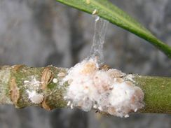 Červci se chrání obalem v podobě jakési bílé vatičky.