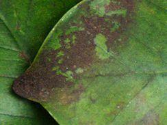 Čerň na listech je pro rostliny nebezpečná, může omezit životně důležitou fotosyntézu.