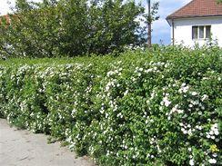 Bíle kvetoucí tavolník vhodný pro volně rostoucí živý plot. Občas ho jen přistřihnete, aby kvetl.
