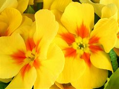 Žluté květy vám přinesou domů jaro.