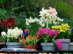 Cibuloviny nabízejí pestrou paletu květů, barev i vůní.