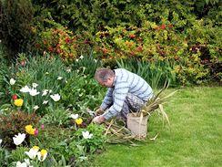 Cibuloviny v květináči musíte nechat po odkvětu nejprve zatáhnout. Teprve, když uschnou listy, můžete je vysadit na záhon.