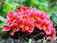 Primulky můžete po odkvětu také vysadit na záhon. Příští sezónu vám opět vykvetou.