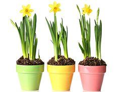 Narcisky v květináči si raději užívejte v nějaké chladnější místnosti. Pak vám vydrží déle kvést.