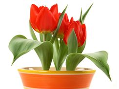 Nízká varieta tulipánů je pro květináče ideální.
