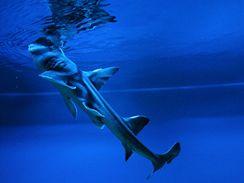 Žralok dogovitý obývá mělké vody v okolí Austrálie, dorůstá až 1,5 m. Prohlédnout zblízka si ho můžete v pražském Mořském světě v Holešovicích.