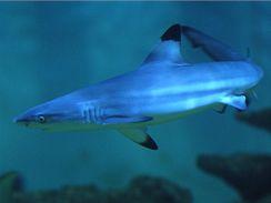 Žralok černocípý v akváriu pražského Mořského světa.