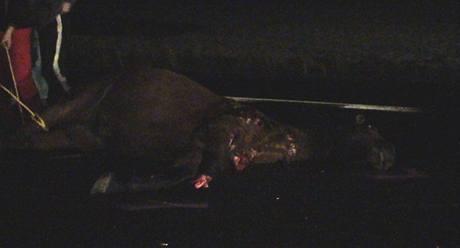 Kůň skončil po nehodě v kafilerii