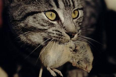Správná kočka vychytá myši v domě i v jeho okolí.
