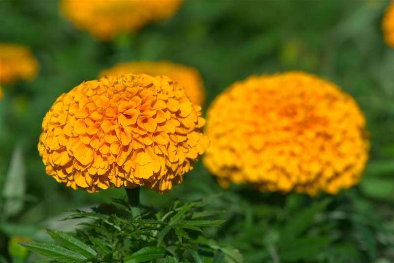 Kromě živočichů můžete vsadit na správný výběr květin. Vysazení těch správných druhů zmenší pravděpodobnost, že se mšice objeví. Doporučují se afrikány, které svým pachem mšice odpuzují. Vyzkoušet můžete i lichořeřišnice, které chrání před vlnatkou krvavou a plísní bramborovou. Nespoléhejte ale, že pouhá vůně odradí všechny mšice od napadení vašich rostlin.