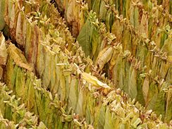 Listy tabáku těsně po sklizni