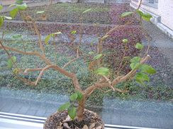 Typický nepravidelně zalévaný ibišek. Listy zežloutnou a opadají. Stromek je potřeba ostříhat, přesadit a dát na světlo.