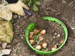 Cibuloviny a hlíznaté rostliny se pokuste ochránit tak, že je na podzim vysadíte do dírkovaných plastových košů.
