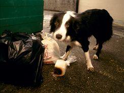 I váš mazlíček klidně projede odpadky u kontejneru, když k tomu dostane příležitost.