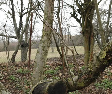 U starých strom je třeba řezat postupně, jinak z hlavního kmene začnou vyrůstat