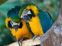Nejlépe je papouškům, kteří žijí v páru.