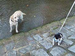 Procházka Hodonínem. Vodu psi většinou milují.