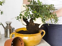 Přesazujete-li mladé rostliny, donesené z obchodu, bývá jejich kořenový bal většinou čistý, bez odumřelých či uhnilých částí, a může tedy zůstat kompaktní.