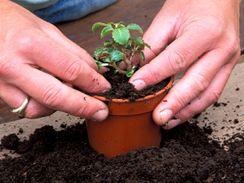 Přisypanou zeminu opatrně přimáčkněte palci tak, aby přesazovaná rostlina byla zasazena stejně hluboko, jako v původním obalu.