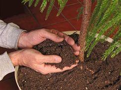 Velké rostliny můžete v původní nádobě ponechat, alespoň ale nahraďte vrchní vrstvu substrátu čerstvým.