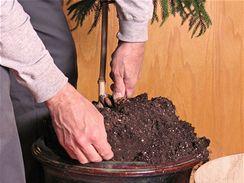 Pokud se vám podaří velkou rostlinu vyjmout z květináče, pečlivě jí očistěte kořeny od původního substrátu a nahraďte ho novým, plným živin.