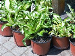 Obal i substrát, ve kterých rostlinu koupíte, jsou určeny pouze na přechodnou dobu, než se rostlina dostane od pěstitele k budoucímu majiteli.