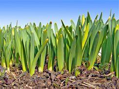 Tulipánová cibule obsahuje vše potřebné, aby z ní na jaře vyhnaly listy a nádherný květ.