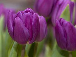 Květ tulipánu. V jednoduchosti je krása.