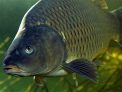 Kapr je doslova naší rybou domácí. Ale nemělo by tomu tak být jen na Vánoce.