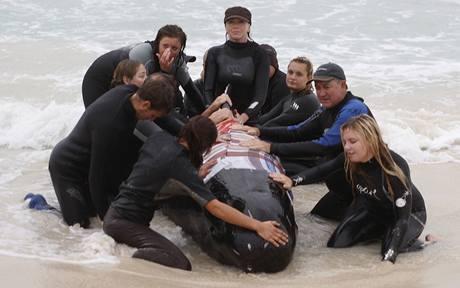Na jihu Austrálie uvízly na mělčině desítky velryb. Zachránit se podařilo jen 17 z nich. (23. března 2009)