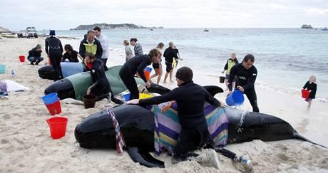 Na jihu Austrálie uvízly na mělčině desítky velryb. Okamžitě jim přišli na pomoc záchranáři i dobrovolníci. (23. března 2009)